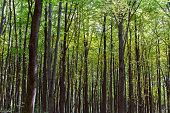 Beech Forest Trees