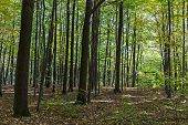 Trees In Beech Forest
