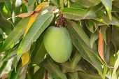 Green Mango On Tree In Garden