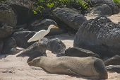 Snowy Egret with Sea Lion in Galapagos Islands