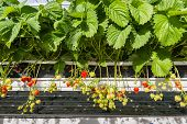 pic of horticulture  - Ripening of strawberries from hydroponically cultivated plants at a convenient picking height in a specialized Dutch greenhouse horticulture business - JPG