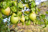 Fresh pears on a tree