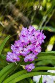Purple Orchid Flower, Rhynchostylis