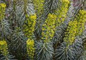 Euphorbia Characias in bloom
