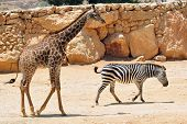 foto of biblical  - Giraffe and a zebra in Jerusalem Biblical Zoo Jerusalem Israel - JPG