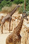 image of biblical  - Giraffe in Jerusalem Biblical Zoo Jerusalem Israel - JPG