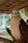 hawk bird of prey hunting pet concept
