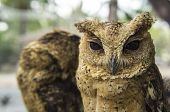 stock photo of rear-end  - owl little small staring meat eater night - JPG