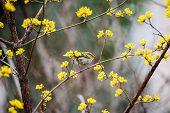A colourful bird sitting among winter jasmine