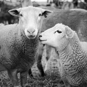 stock photo of lamb  - Sheep and lambs in a paddock in Australia in black and white - JPG
