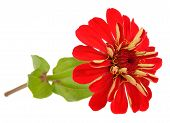 Red Zinnia Flower Isolated On White Background