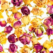 Beautiful Dried Yellow And Pink Roses Like As Background Is Isolated On White, Closeup