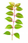 Green Branch Of Sapling Fuchsia Back Turned To Camera Is Isolated On White Background