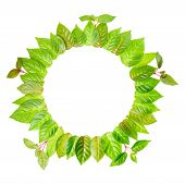 Round Frame Of Fresh Green Leaves With Twig Is Isolated On White Background