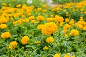 Close Up Yellow Marigold Flower In Garden.
