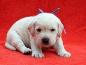 A Yellow Labrador Puppy Sitting On Red Background