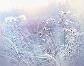 Frost in meadow