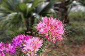 Pink Cleome Flower