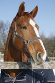 Side View Portrait Of A Beautiful Young Chestnut Horse