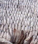 picture of tights  - Panorama of The Fresh fish tightly packed together - JPG