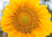 Sunflowers Or Helianthus Annuus Field
