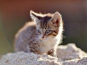 Striped Small Kitten