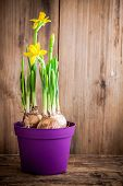 Daffodils Blooming In A Pot