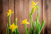 Bright Yellow Blooming Daffodils On A Wooden Background