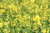 stock photo of rape  - Rape flowers - JPG