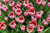 A Lot Of Red And Pink Tulips