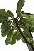 Spurge (Euphorbia) leuconeura