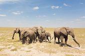 picture of elephant ear  - Herd of african elephants in savanna - JPG