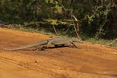 image of monitor lizard  - Monitor lizard in the wild on the island of Sri Lanka - JPG