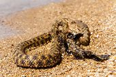 picture of fish pond  - Water snake with the entrapment of fish on the shore of the pond - JPG