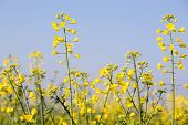 foto of biodiesel  - GMO rapeseed plants on a huge field for production of biodiesel