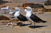 image of greater  - Greater Black backed Gull on the beach - JPG