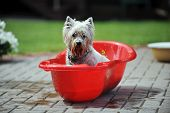 picture of baby dog  - wet dog in baby bathtub - JPG