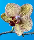 picture of horticulture  - Phalaenopsis orchid known as the Moth Orchid abbreviated Phal in the horticultural trade - JPG