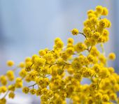 blooming yellow mimosa branch