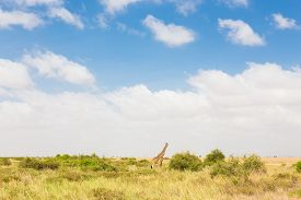 foto of terrestrial animal  - Giraffe in african wilderness - JPG
