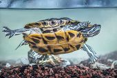 foto of ear  - Red eared slider swimming in the aquarium - JPG