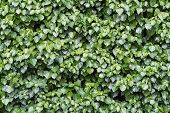 stock photo of ivy  - lush and green adult ivy Hedera helix is growing over a whole wall background texture - JPG
