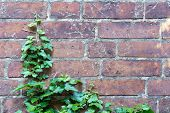 pic of ivy  - Ivy begins again growing at a brick wall remnants of torn aerial rootlets can still be seen background concept power of nature - JPG