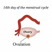 image of ovulation  - 14 day of  the menstrual cycle  - JPG