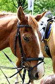 picture of horse head  - Horse head portrait - JPG