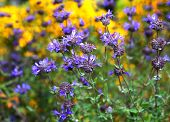 stock photo of salvia  - Salvia leucophylla a native western US Plant grows 5ft tall and very aromatic - JPG