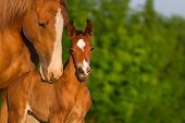 stock photo of pasture  - Portrait mare with colt at sunrise in pasture - JPG