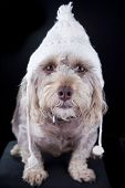 pic of beanie hat  - cute small dog with winter hat staring at camera - JPG