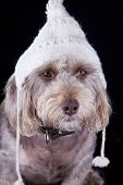foto of beanie hat  - white dog with winter hat looking away on black background - JPG