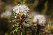 picture of cognitive  - Rhododendron tomentosum in Cognitive track of Varnikai botanical - JPG
